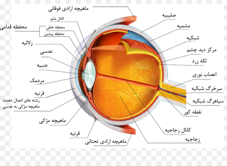Human Eye Anatomy Sclera Heart Eye Png Download 1304931 Free