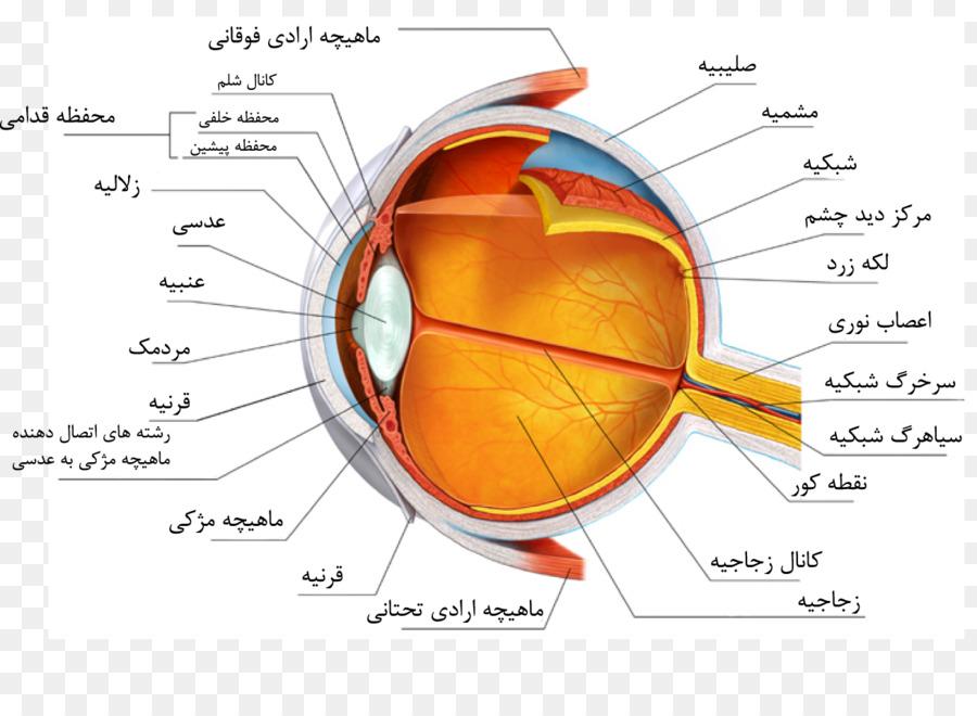 Humanos de la Anatomía del ojo de la Esclera Corazón - Ojo png ...