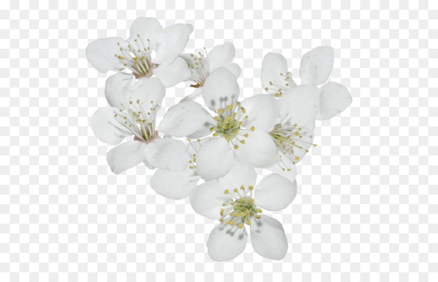 Flor De Cerezo Cerasus De Los Cerezos En Flor Png Dibujo