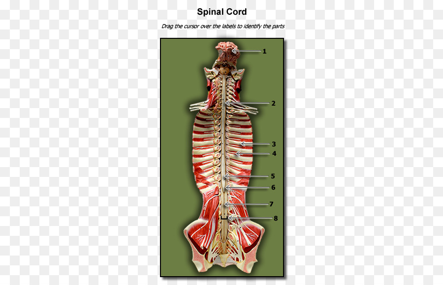 Human anatomy Human biology Physiology Human body - others png ...