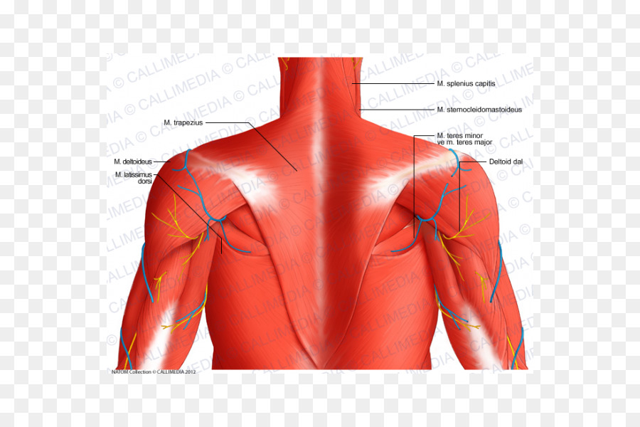 Posterior triangle of the neck Posterior auricular artery Posterior ...