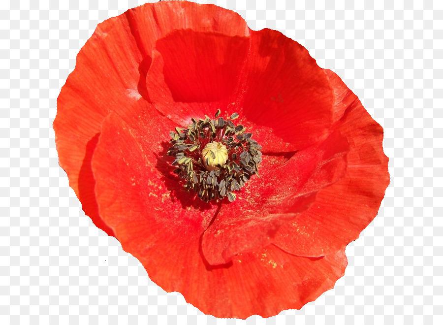 Common poppy symbol flower garden roses symbol png download 687 common poppy symbol flower garden roses symbol mightylinksfo
