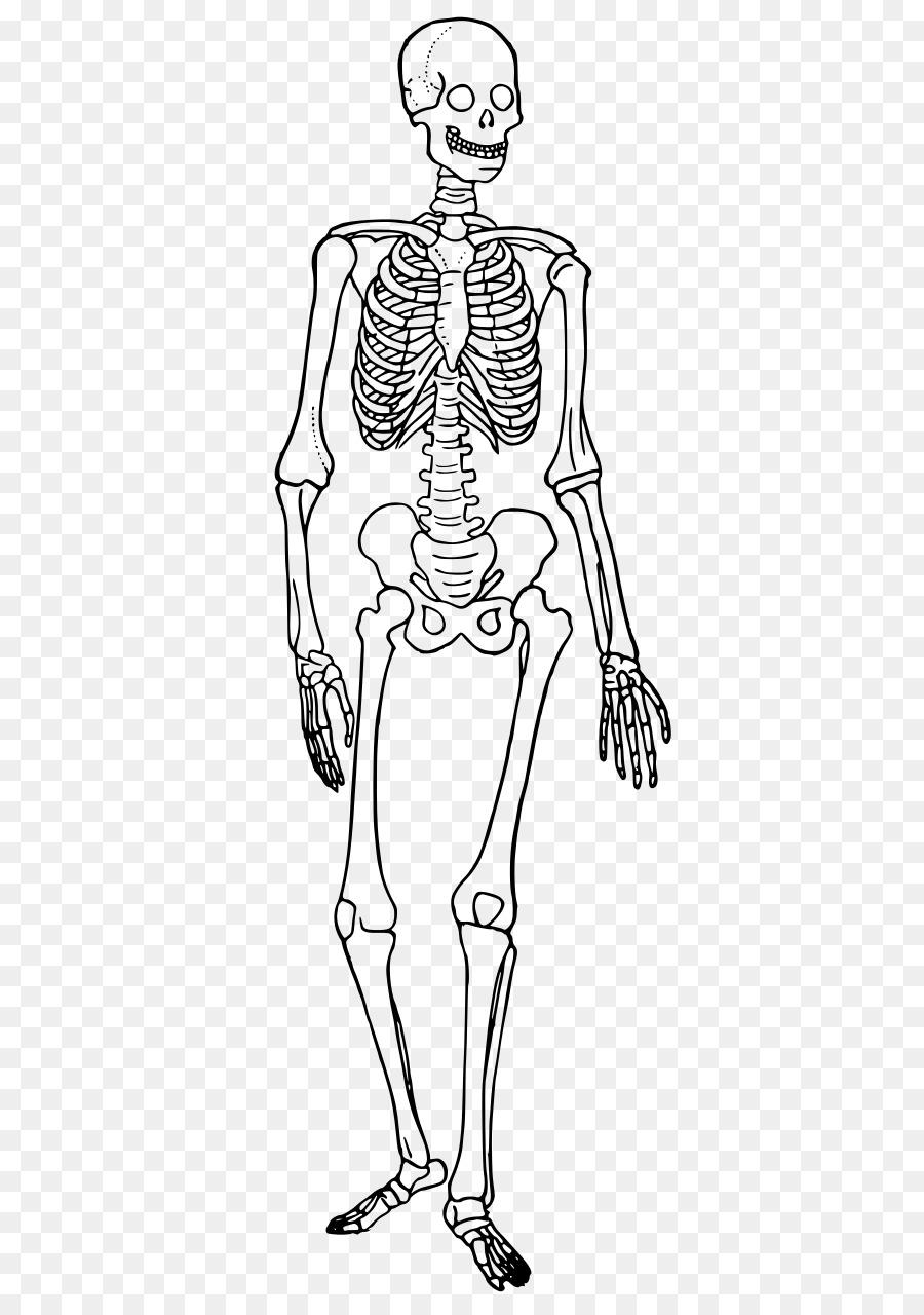 Esqueleto humano cuerpo Humano Diagrama de Hueso - Esqueleto png ...