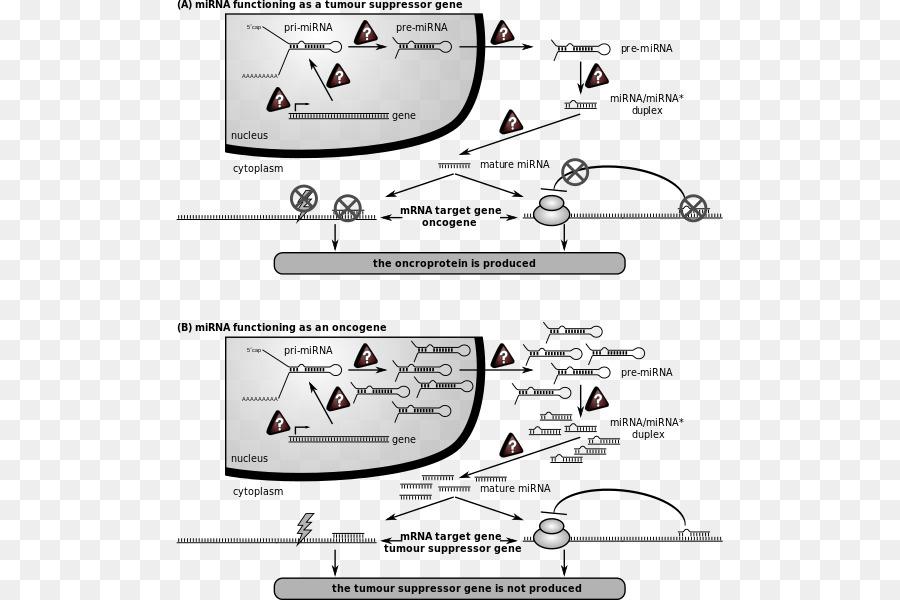 microarn de células de Cáncer de células de Cáncer de mIRN21 - el ...