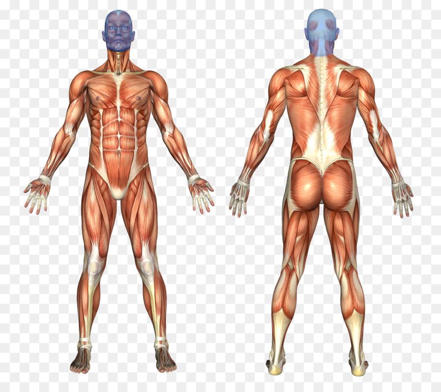 Sistema Muscular del cuerpo Humano anatomía Humana Muscular - el ...