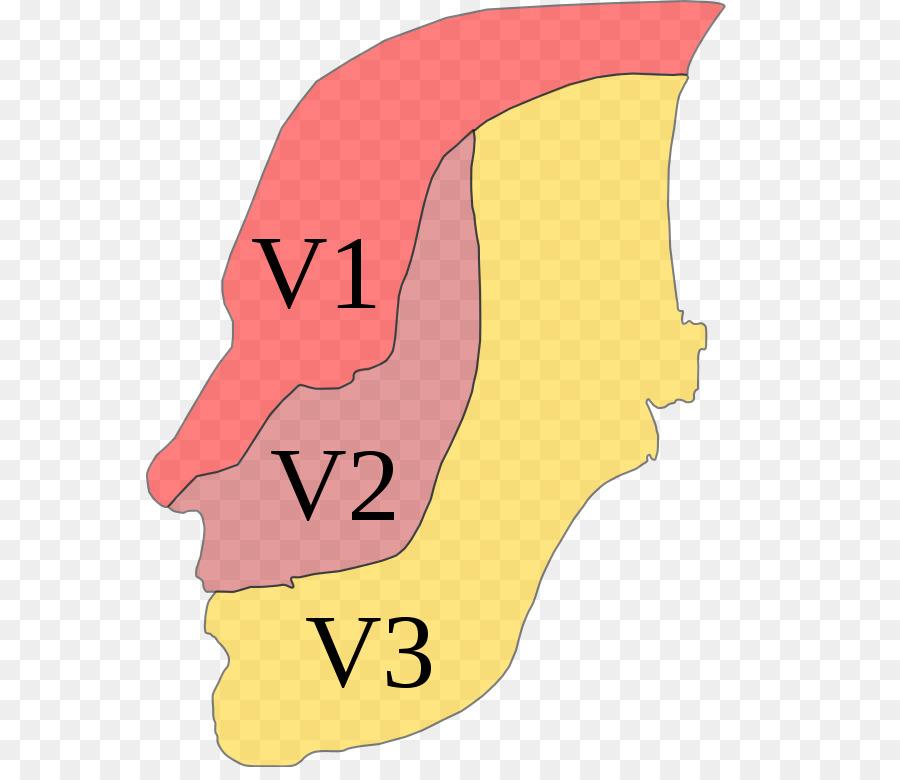 Nervio trigémino nervios Craneales neuralgia del Trigémino Anatomía ...