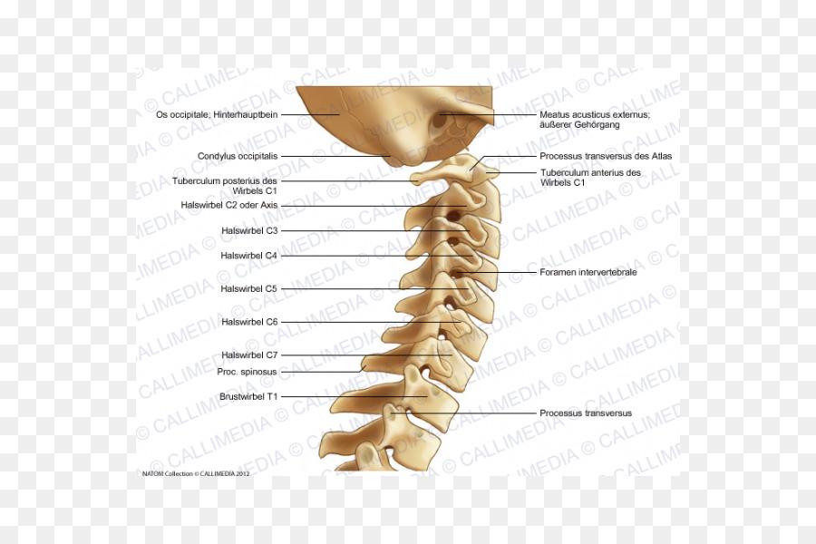 Bone Cervical Vertebrae Vertebral Column Lumbar Vertebrae Anatomy
