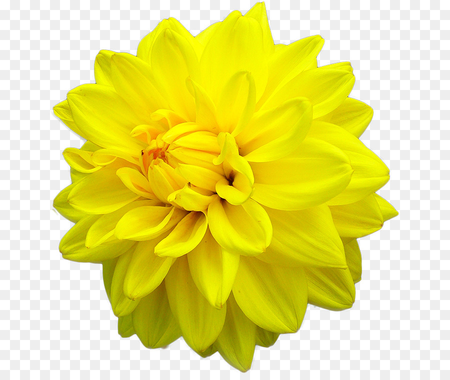 Dahlia Flower Yellow Stock Photography Color Flower Png Download