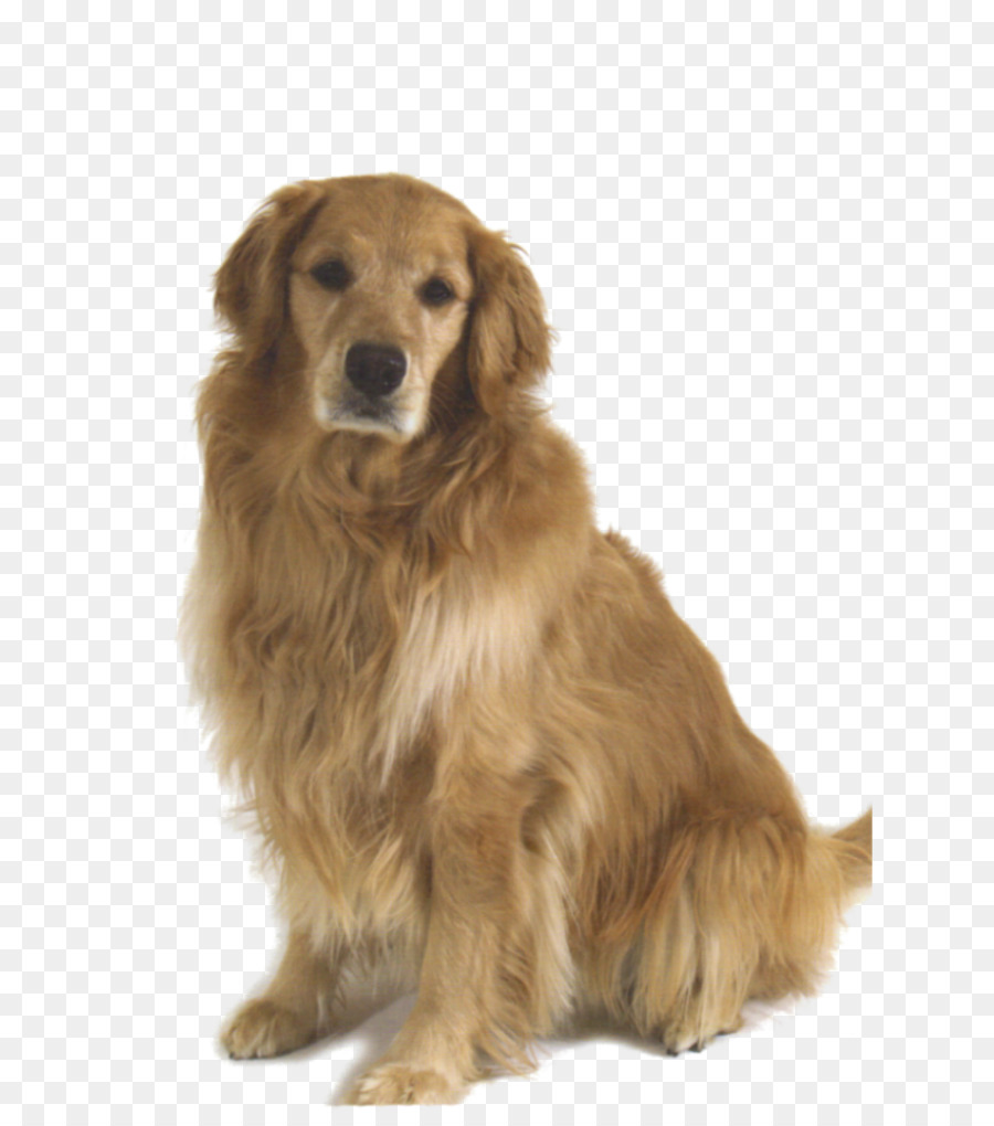 Golden Retriever Png Download 7001017 Free Transparent Golden