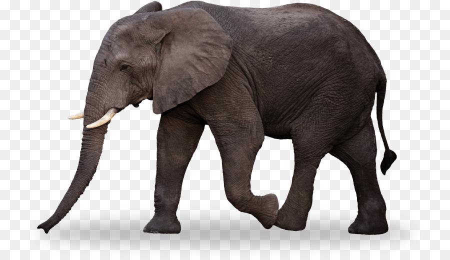 Elefante indio elefante Africano de sabana Niños Libro para Colorear ...
