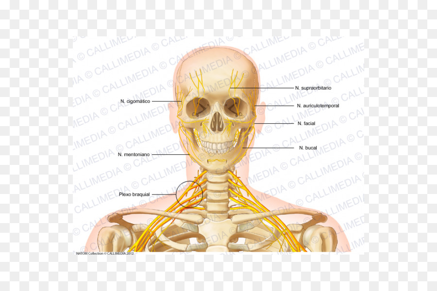 Kopf-und Hals-Anatomie Kopf und Hals Anatomie Knochen Menschliches ...