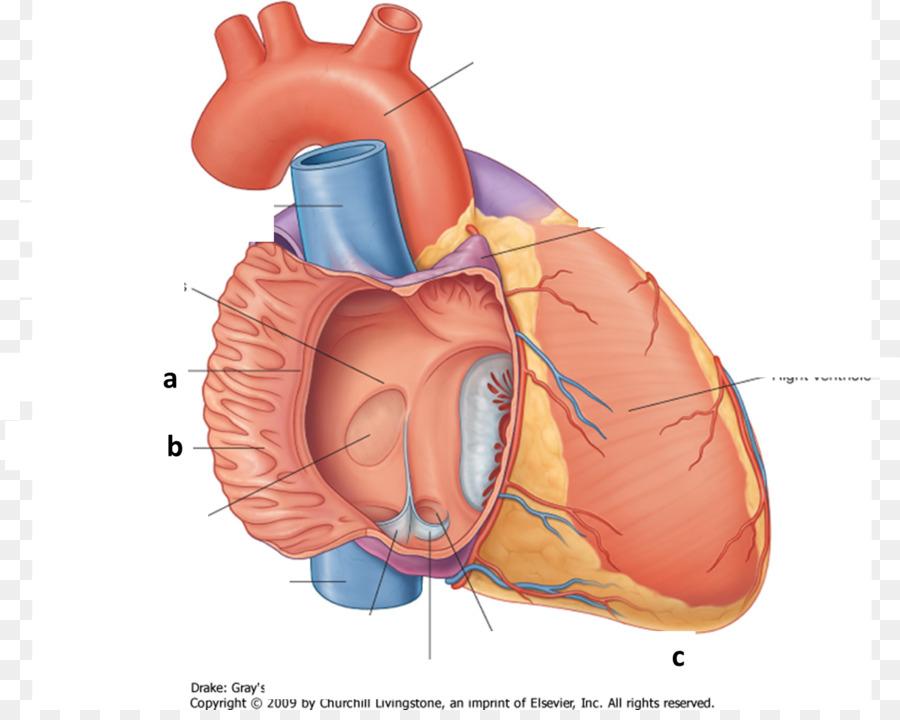 Crista Terminalis Atrium Heart Pectinate Muscles Inferior Vena Cava