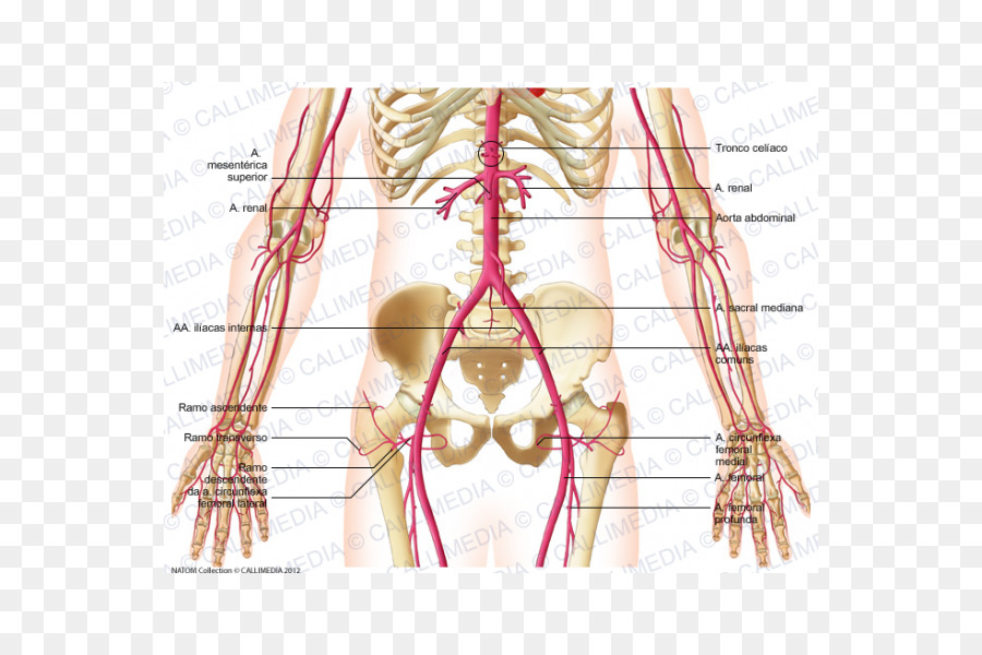 Abdomen Median Sacral Artery Abdominal Aorta Pelvis Others Png