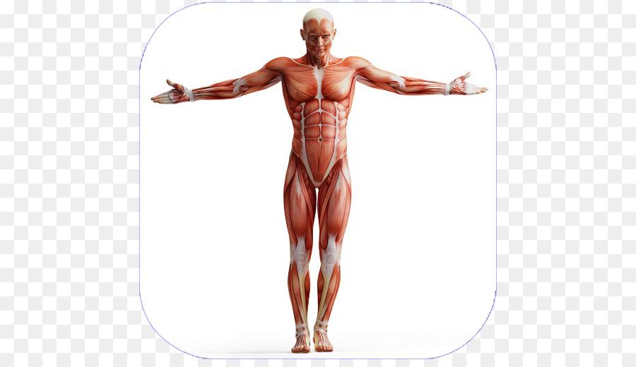 Cuerpo humano Anatomía Muscular Homo sapiens sistema Muscular ...