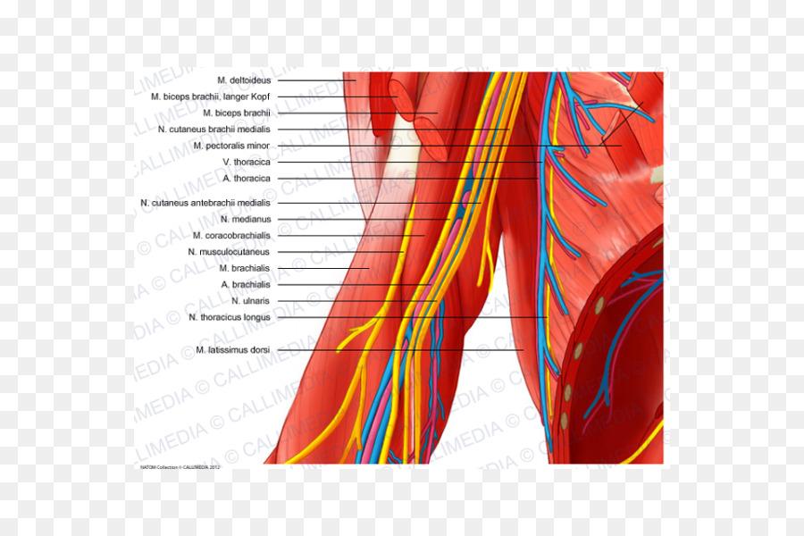 Median nerve Arm Ulnar nerve Elbow - arm png download - 600*600 ...