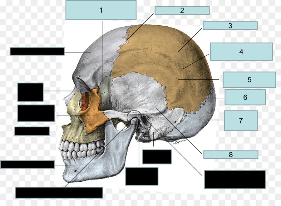 Parietal Bone Frontal Bone Sphenoid Bone Skull Skull Png Download