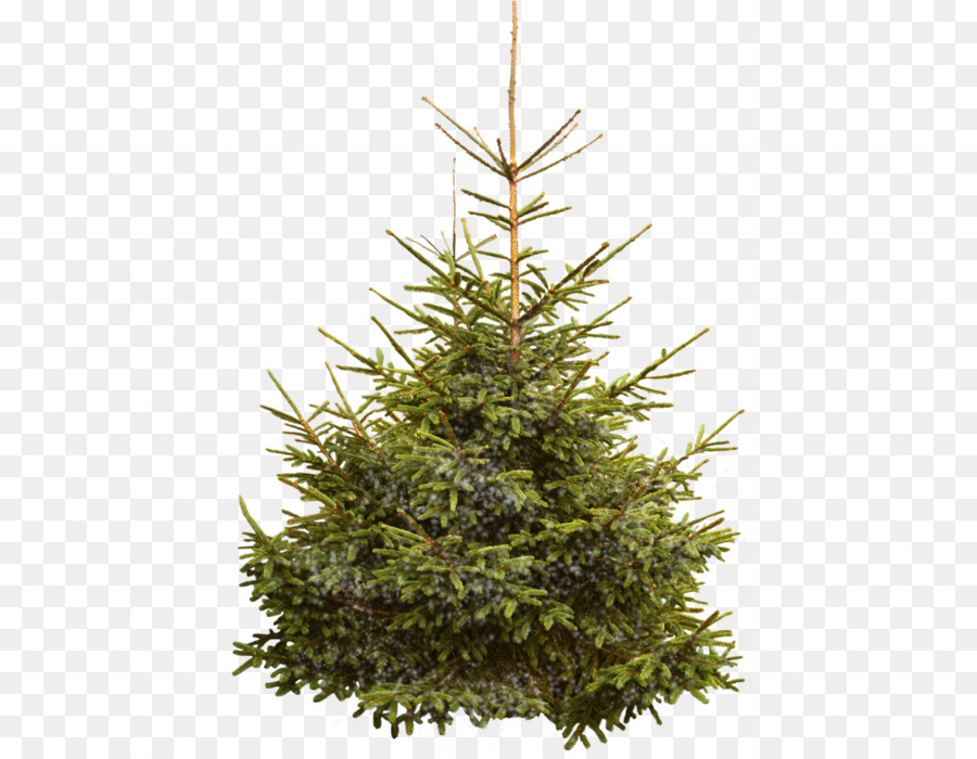 nordmann fir norway spruce christmas tree christmas tree