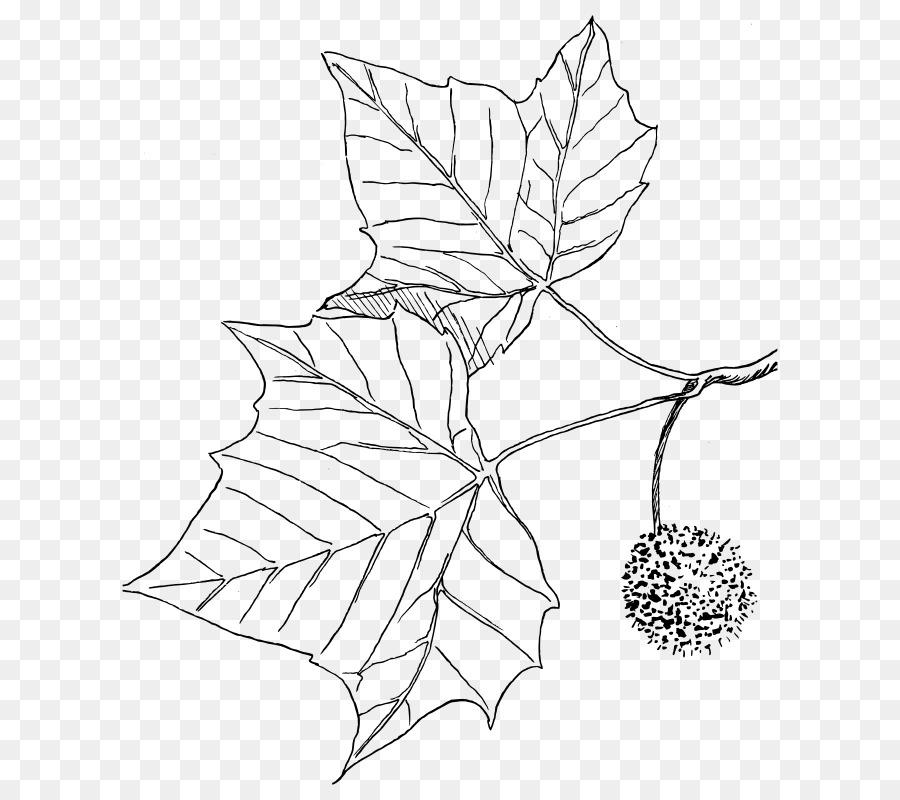 Amerikan çınar Ağacı çizim Boyama Kitabı Ağaç Png Indir 686800