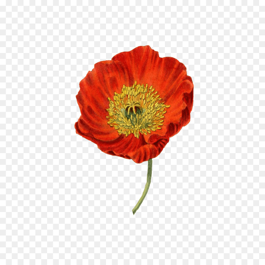 Common Poppy Botanical Illustration Botany Drawing Flower Png