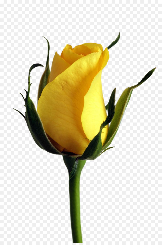 Rose Jaune Couleur De La Fleur Rose Telechargement Png 1672 2508
