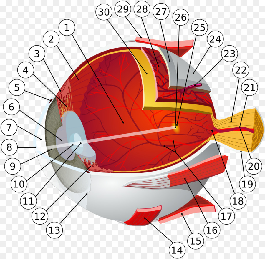 Ojo humano Retina Anatomía del sistema Visual - Ojo png dibujo ...