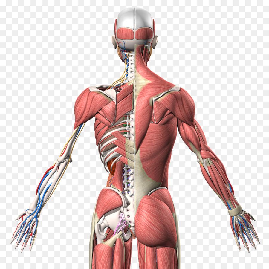 Músculo Homo sapiens Humana anatomía Humana de la espalda - brazo ...