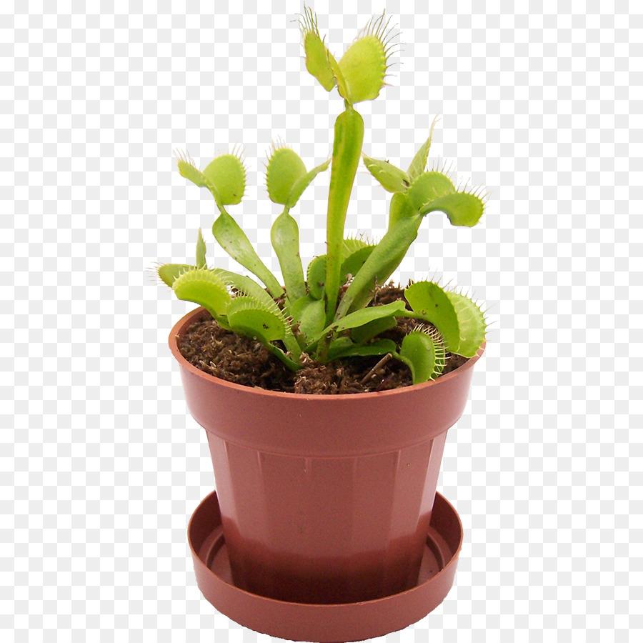 Venus Flytrap Carnivorous Plant Terrarium Reptile Plant Png