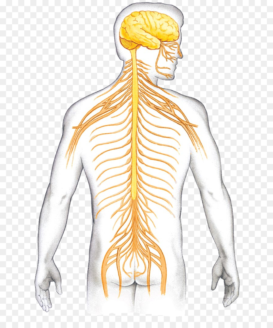 Sistema nervioso Central de vertebrados de la Neurona de la columna ...