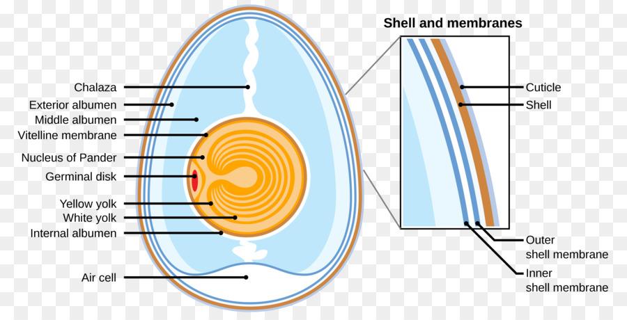 Egg white Bird egg Translation Wikimedia Commons - Egg png download ...