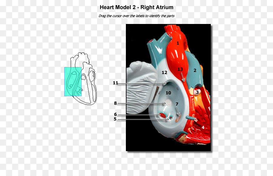 Atrium Heart Anatomy Ventricle Physiology - heart png download - 600 ...