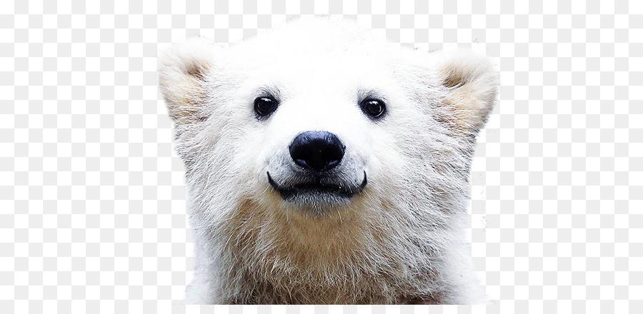 Polar Bear Desktop Wallpaper Theme Polar Bear Png Download 682