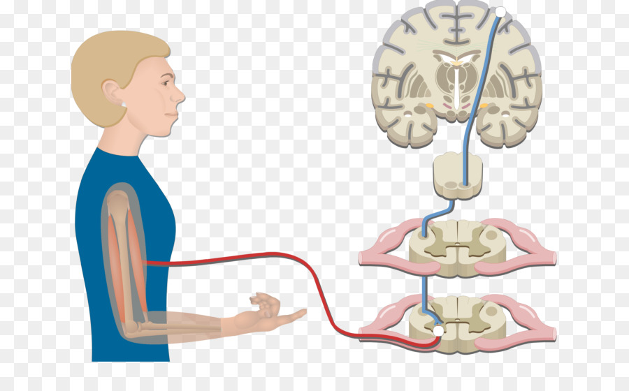 pyramidal tracts spinal cord lateral corticospinal tract extrapyramidal system brain
