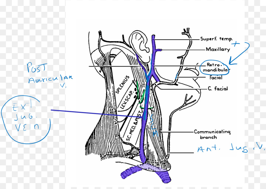 Venn Diagram Vein Artery Human Body Arm Png Download 1333939