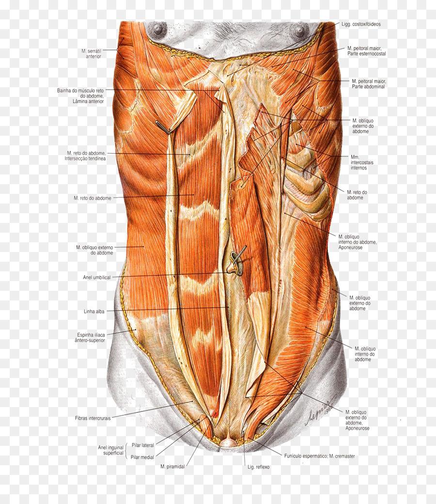 Abdominal External Oblique Muscle Rectus Abdominis Muscle Abdomen