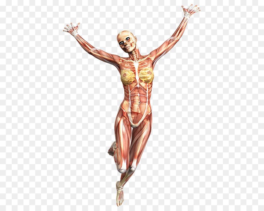 Ejecución de Anatomía Músculo del cuerpo Humano, esqueleto Humano ...