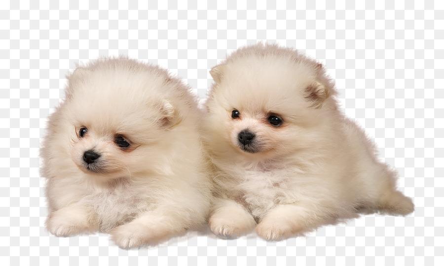 Puppy Pomeranian Golden Retriever Desktop Wallpaper High Definition