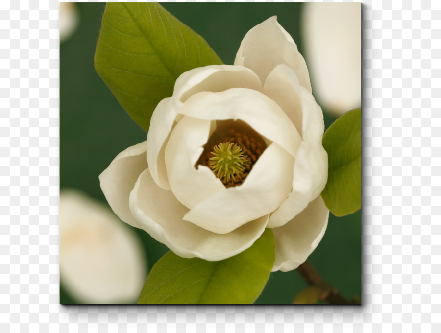 Mississippi Southern Magnolia State Flower Louisiana Flower Png
