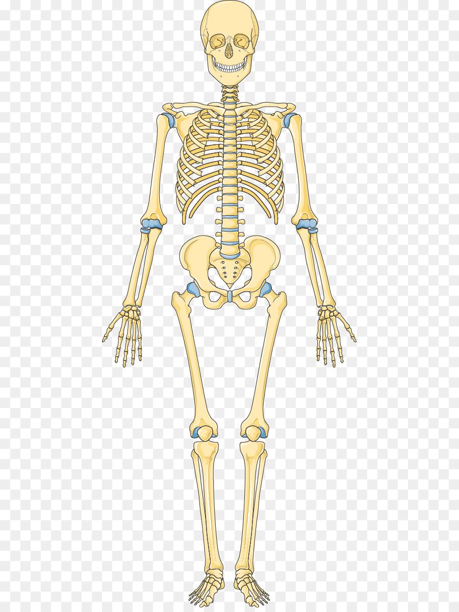 Bone Human skeleton Hip Vertebral column - Skeleton png download ...