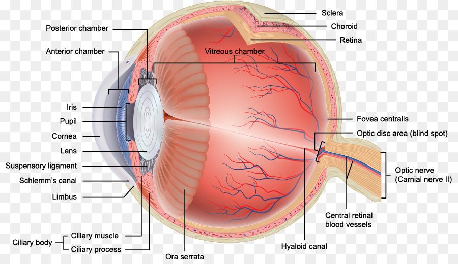 Human Eye Anatomy Retina Orbit Eye Png Download 877511 Free
