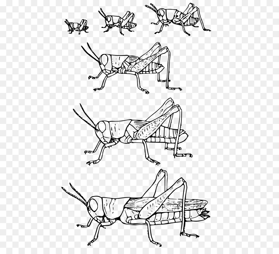 Insect Grasshopper Metamorphosis Hemimetabolism Biology. Insect Grasshopper Metamorphosis Hemimetabolism Biology. Worksheet. Insect Metamorphosis Worksheet At Mspartners.co