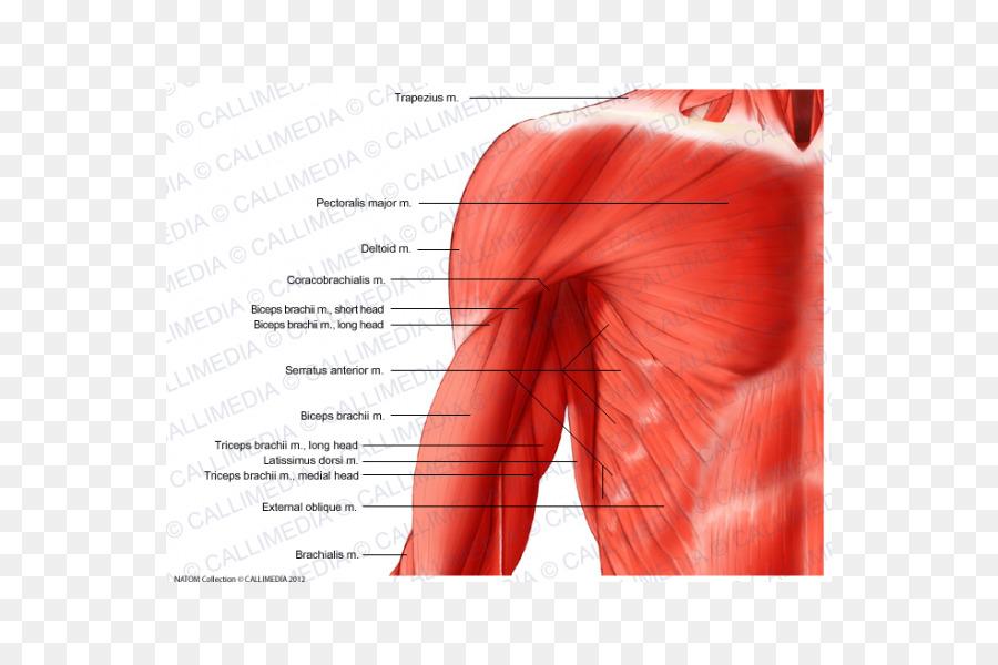 El brazo en el Hombro Músculo del cuerpo Humano, plano Coronal ...