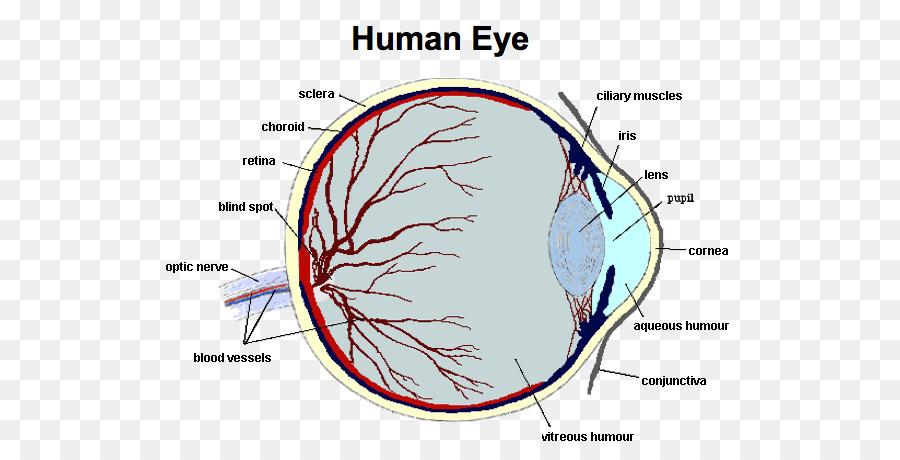 Human Eye Function Human Body Anatomy Eye Png Download 592457
