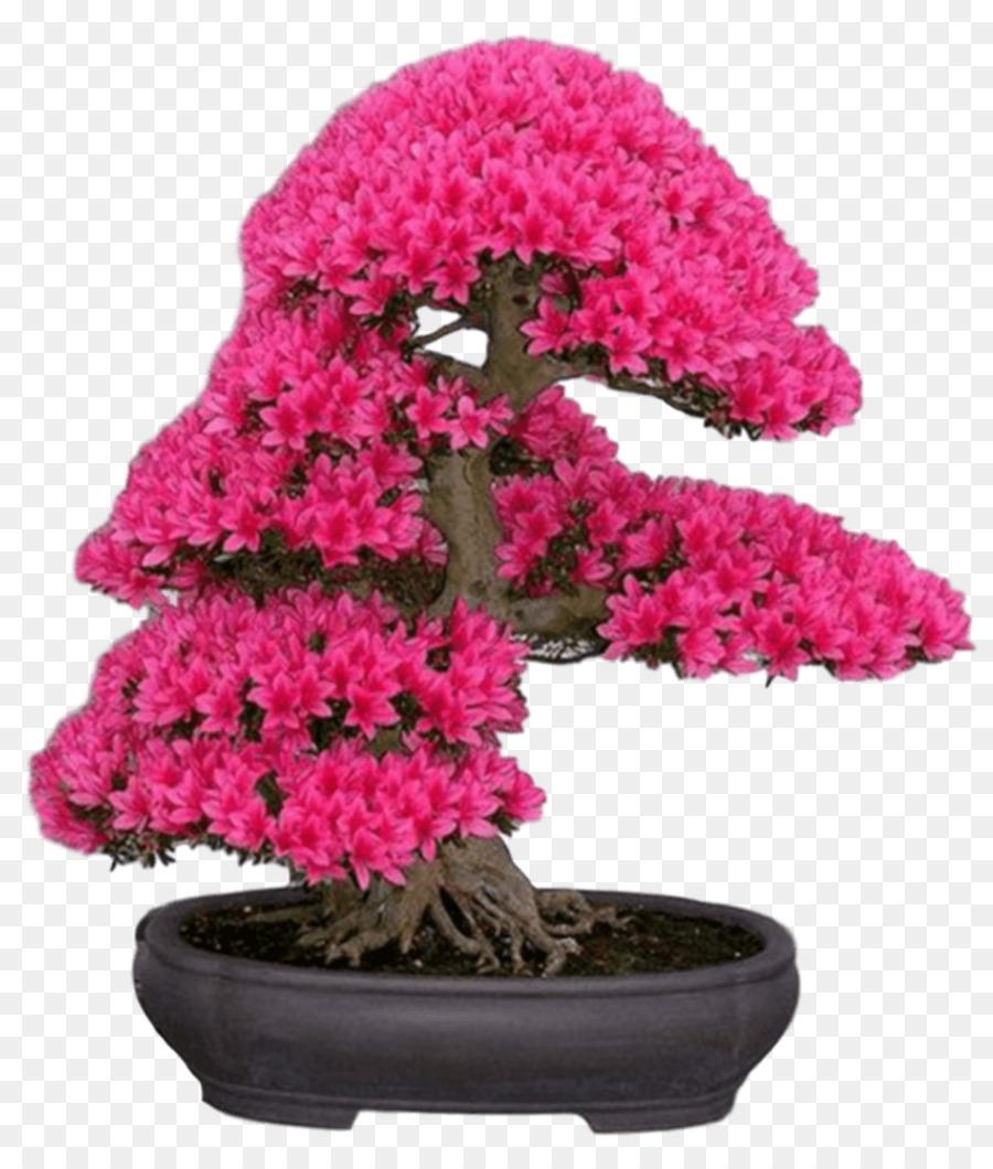 Bonsai Japanese Maple Cherry Blossom Tree Bonsai Png Download