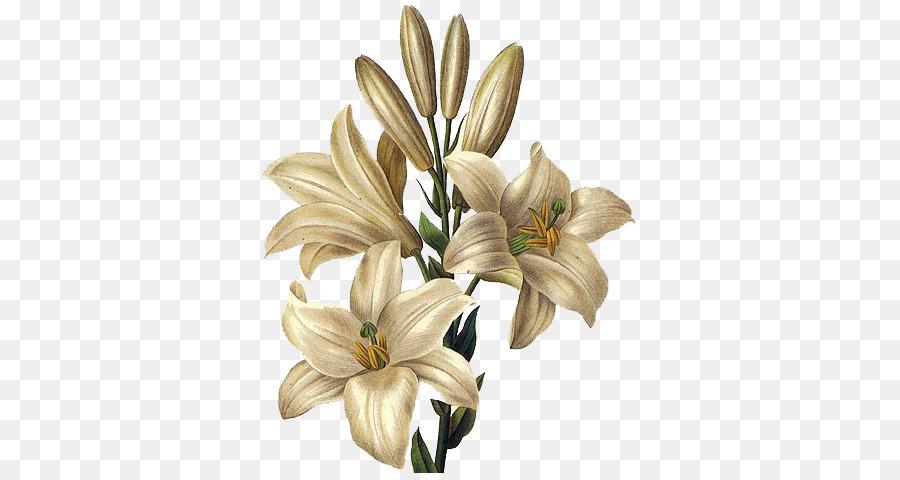 Lilium Candidum Dessin De Fleur Peinture De Lys De Paques Fleur