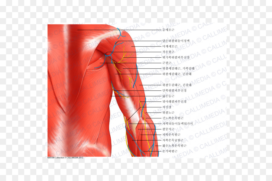 Shoulder Arm Deltoid Muscle Anatomy Arm Png Download 600600
