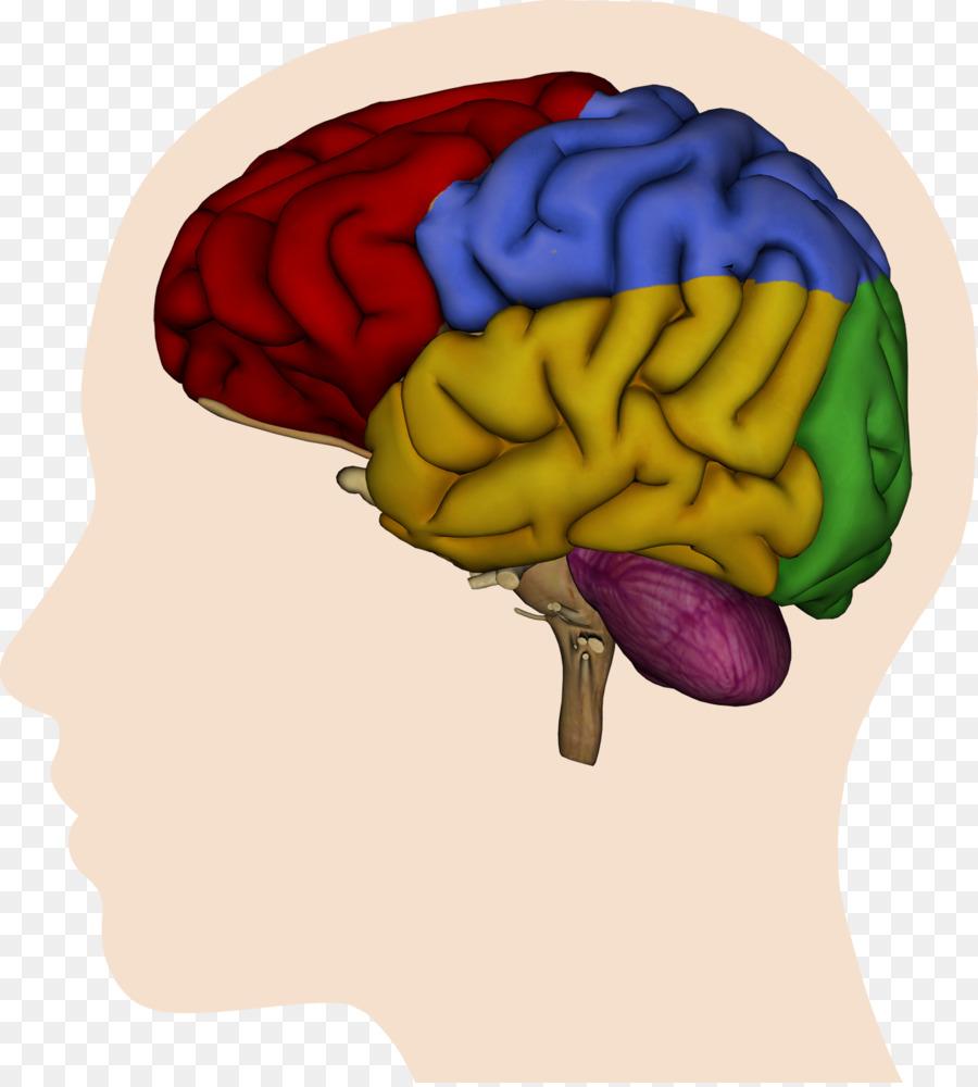 Human brain Cerebral hemisphere Lateralization of brain function ...