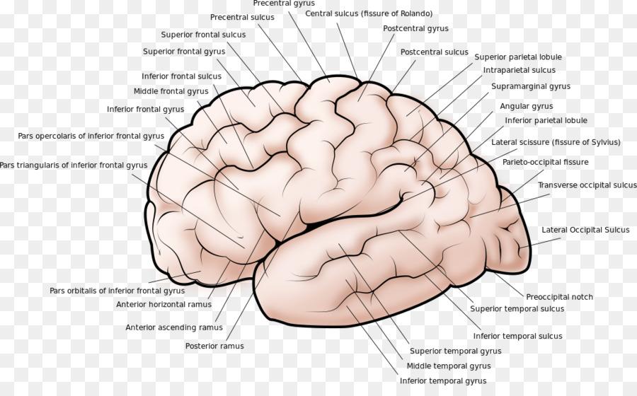 Lateral sulcus Gyrus Brain Cerebral cortex - Brain png download ...