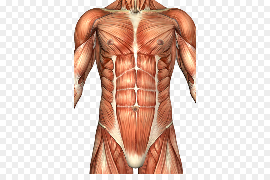 Rectus abdominis muscle Abdomen Anatomy Human body Abdominal wall ...