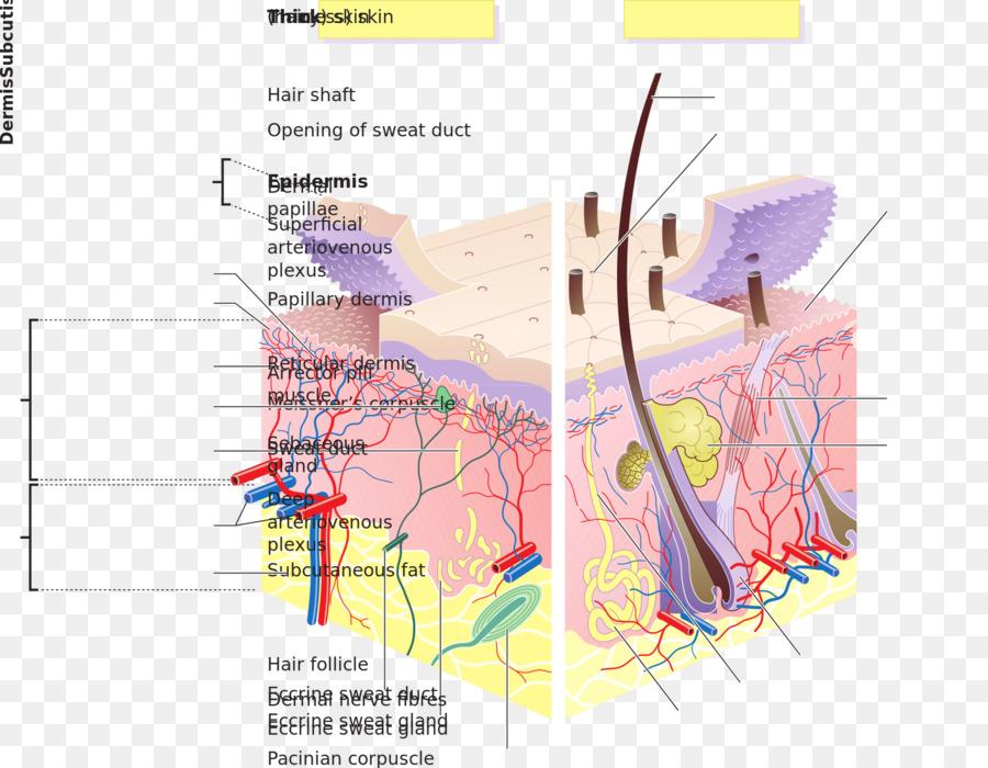 Humanos de la piel Dermis cuerpo Humano Estrato lúcido - capas png ...