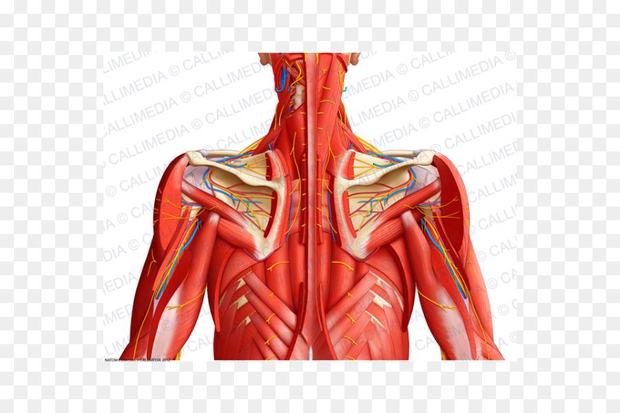 Músculo del hombro de los vasos Sanguíneos de las extremidades ...
